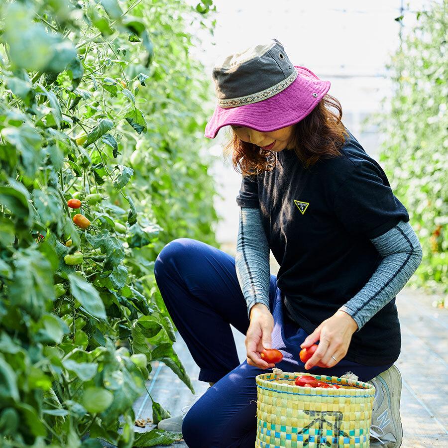 ミニトマトの収穫。しっかりした歯ごたえと凝縮味が魅力。
