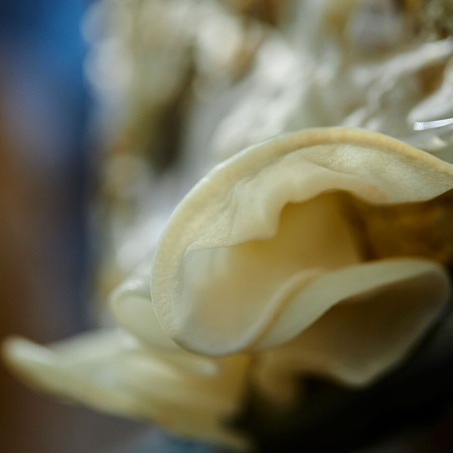 稀少な白きくらげも同時に栽培。食感に大きな差はないが、香りはやや上品。