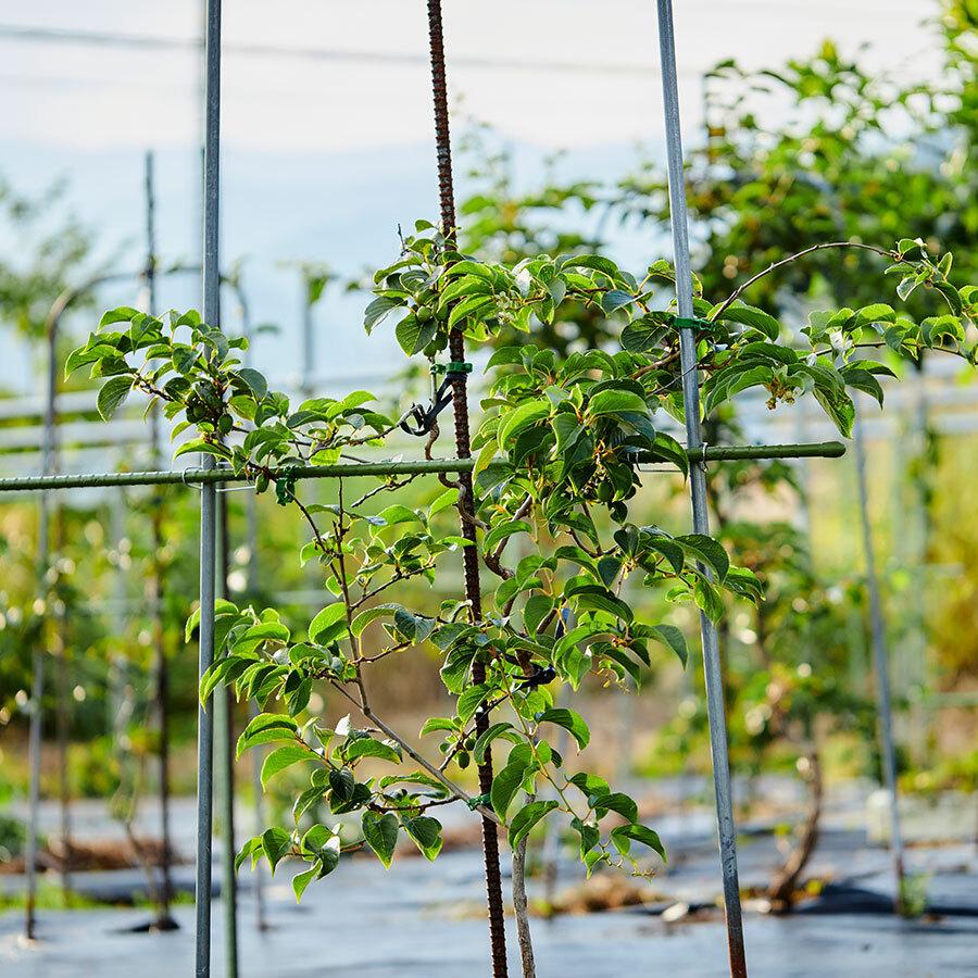 自分だけのさるなしを育ててもらうことができるオーナー制の栽培もスタート。