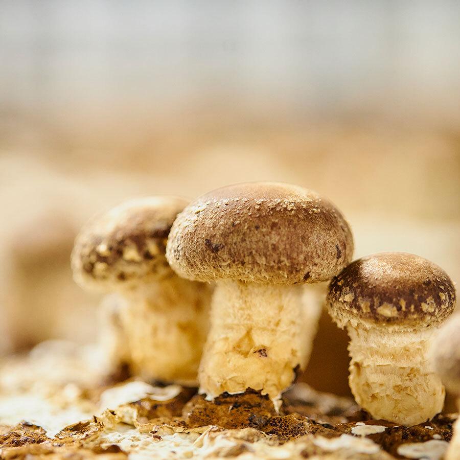 南会津の森林チップを使った菌床が、『尾瀬きのこ園』のおいしさに欠かせないファクター。
