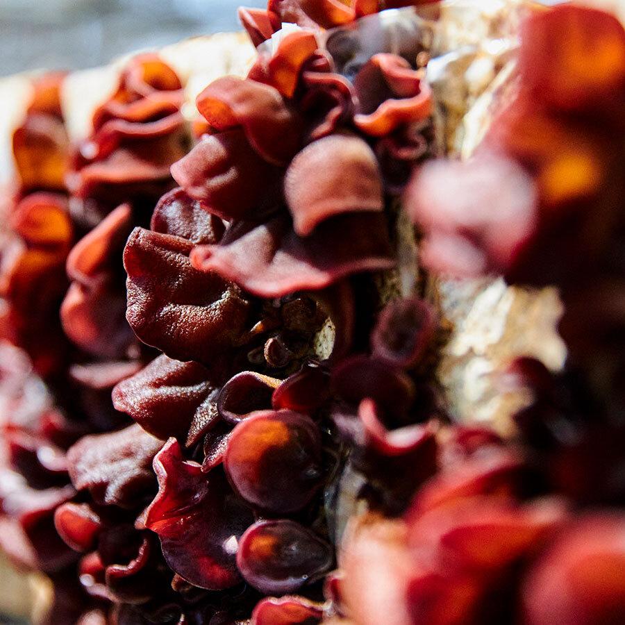 アラゲキクラゲという種類のきくらげ。みっしりと細かな毛の生えた、ゼラチン質の食感。