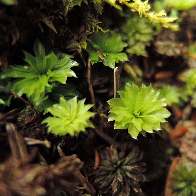 カサゴケ《苔テラリウム・コケリウム用生苔》