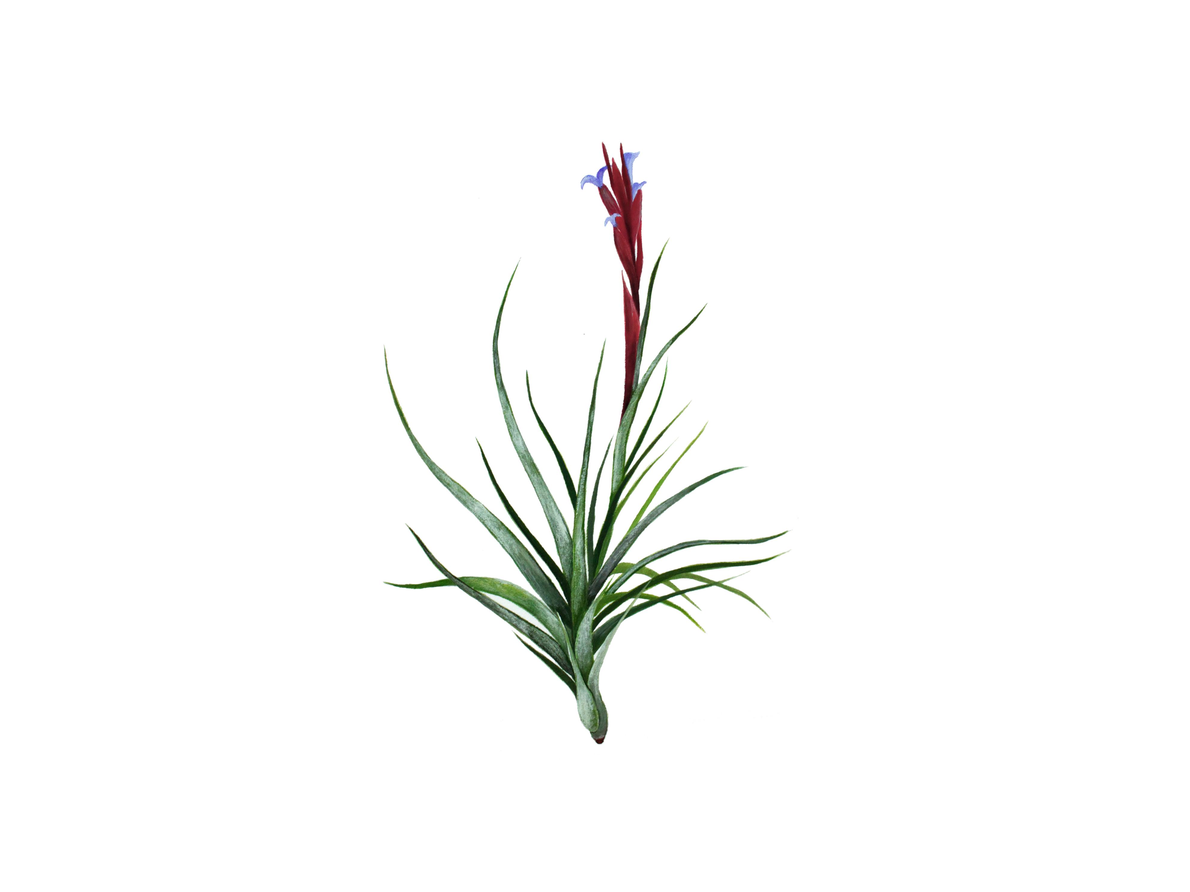 Tillandsia aeranthos 原画作品