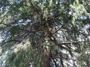 シダー[Cedar]