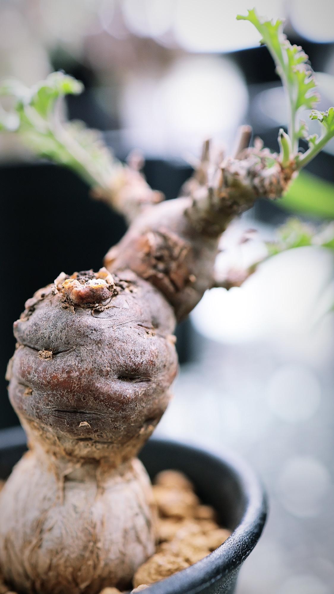 ぺラルゴニウムsp | pelargonium sp nov