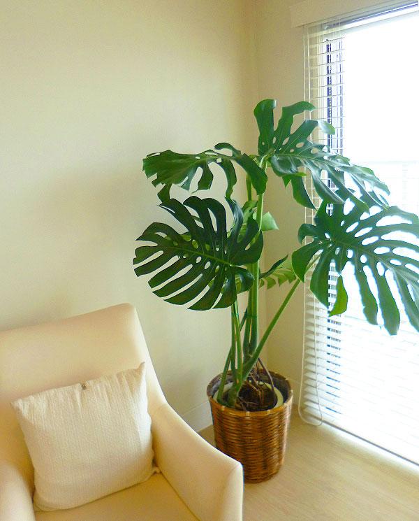 新築祝観葉植物 モンステラ Lサイズ