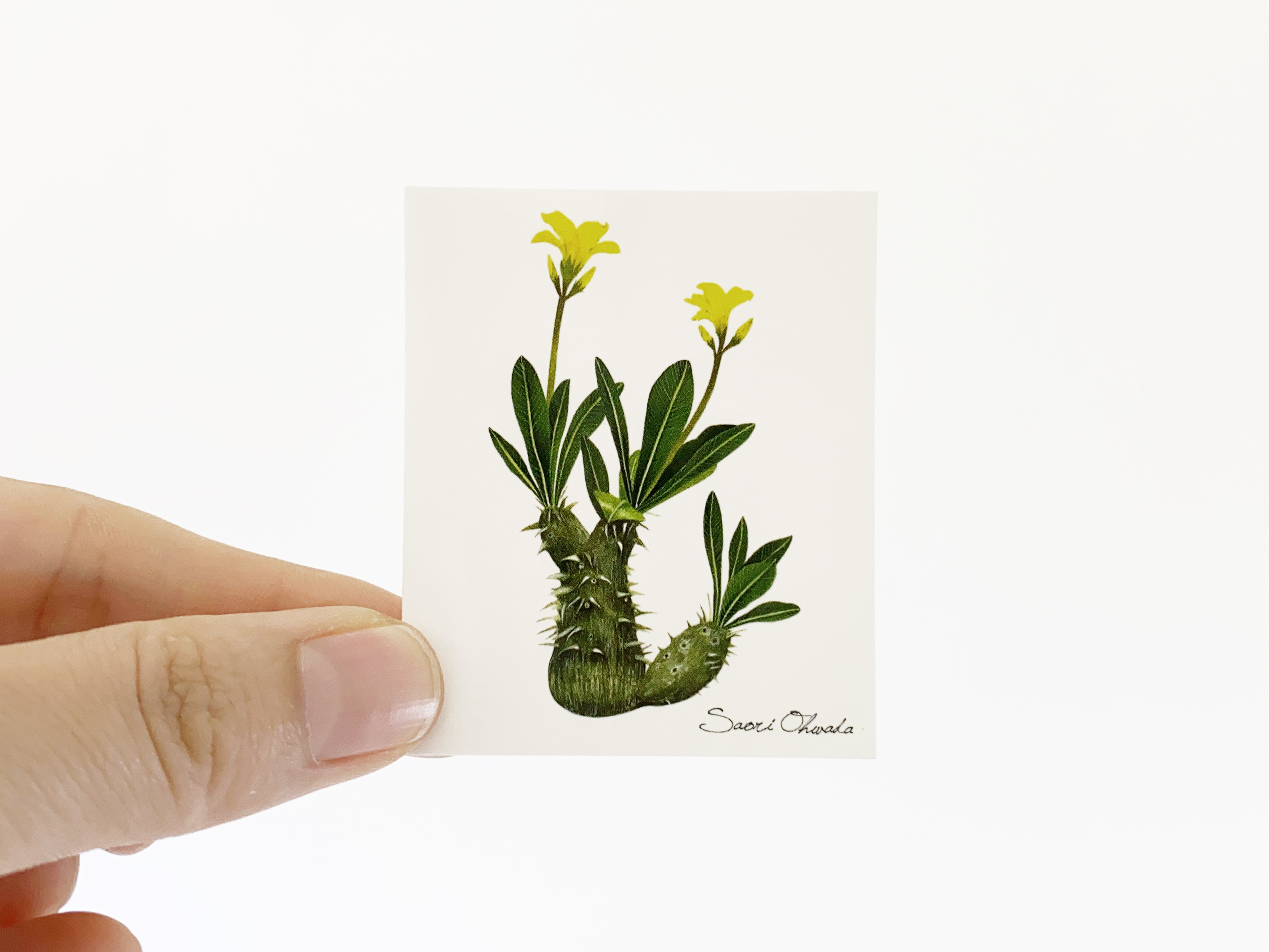Pachypodium densiflorum ステッカー