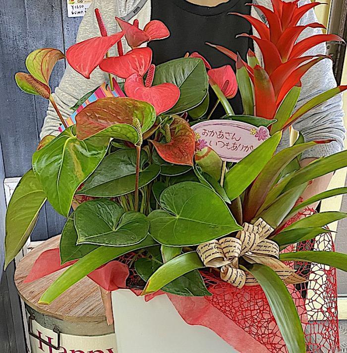母の日 / アンスリューム&グズマニアの花鉢