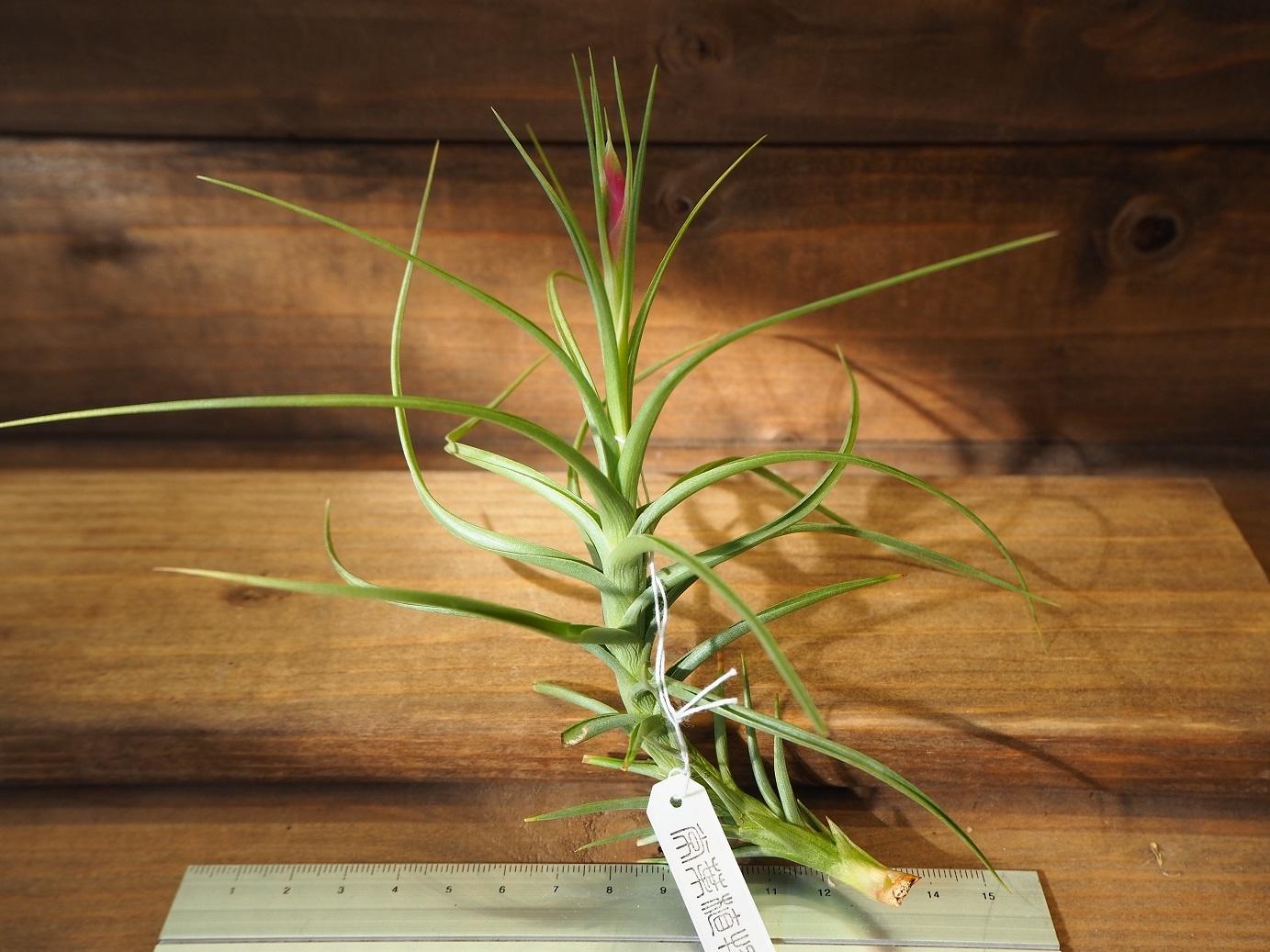 チランジア / アエラントス ハイブリッド ジャイアント (T.aeranthos 'Hybrid Giant')