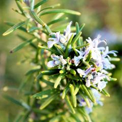 Phytofrance Rosemary [ローズマリー] - 画像2