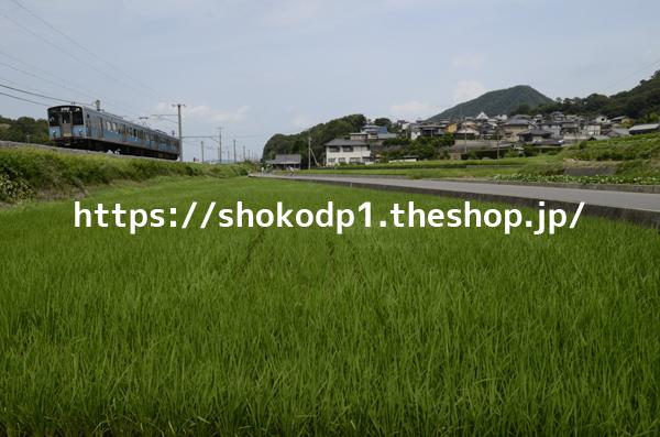 121系と田園_DSC5610