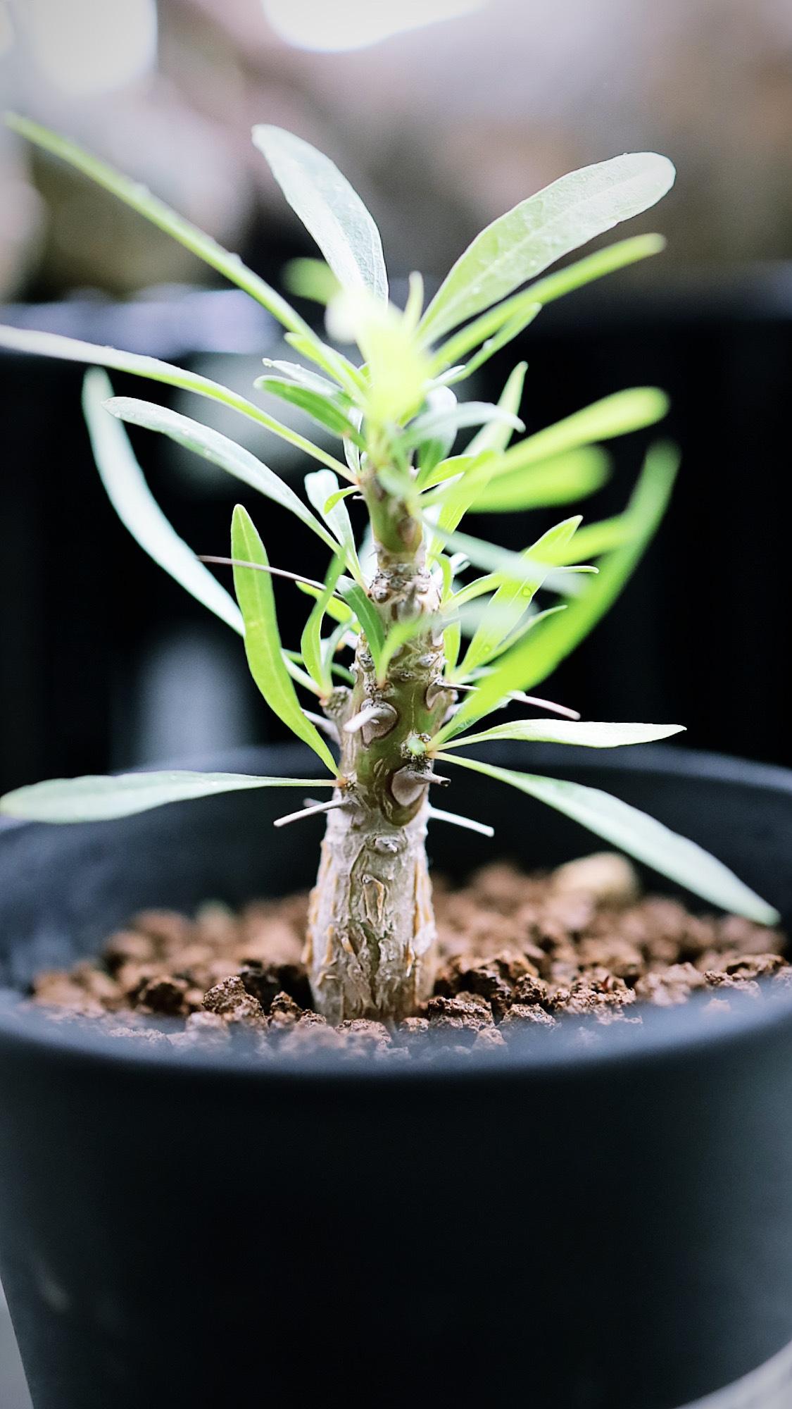 フォークイエリア・プルプシー(実生) | Fouquieria purpusii