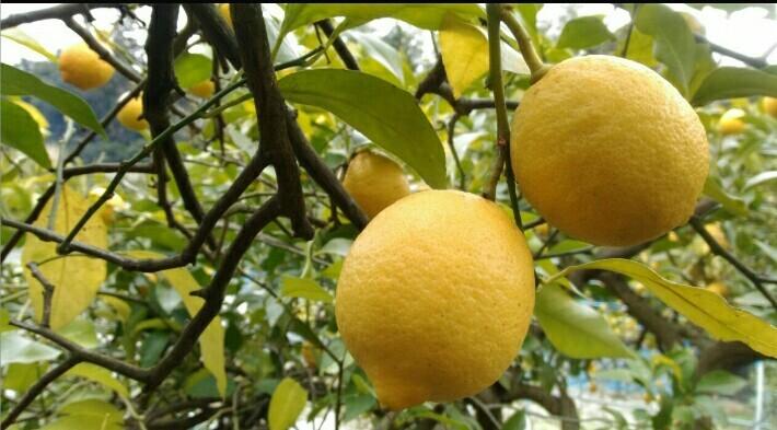 瀬戸田産レモン(化学農薬・化学肥料不使用) 1kg