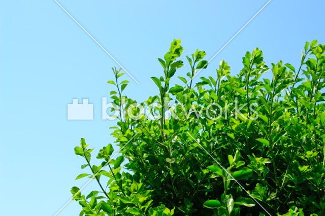 写真素材:夏の木001 - 画像1