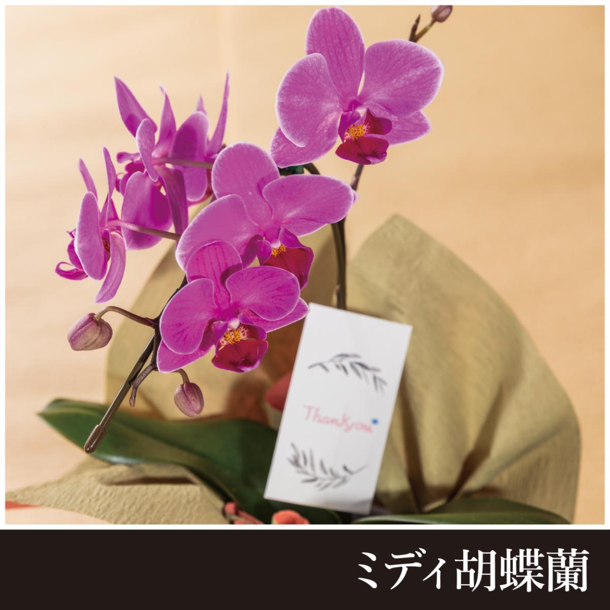 【敬老の日限定販売】ミディ胡蝶蘭