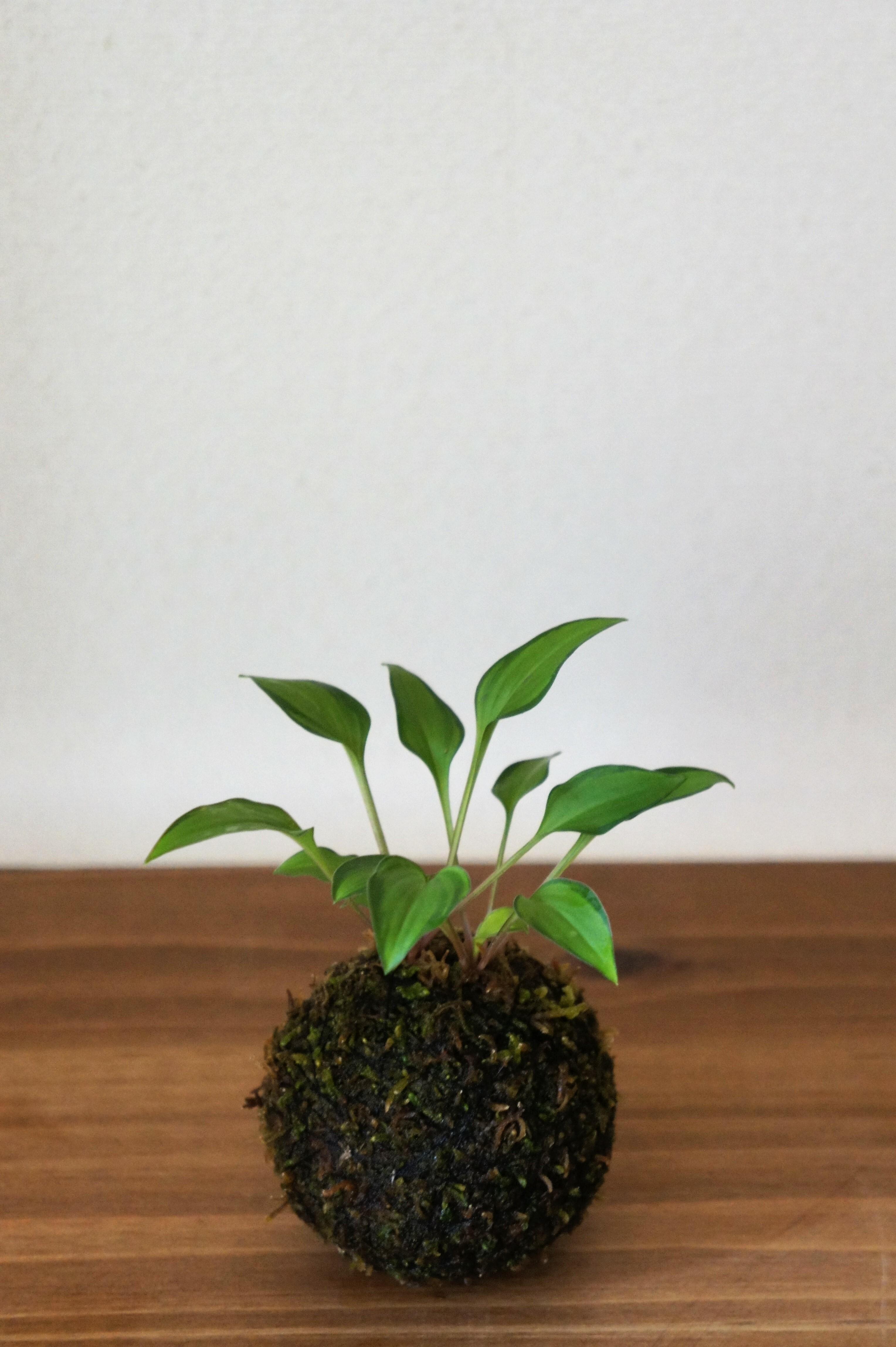苔玉 黄中斑乙女ギボウシ