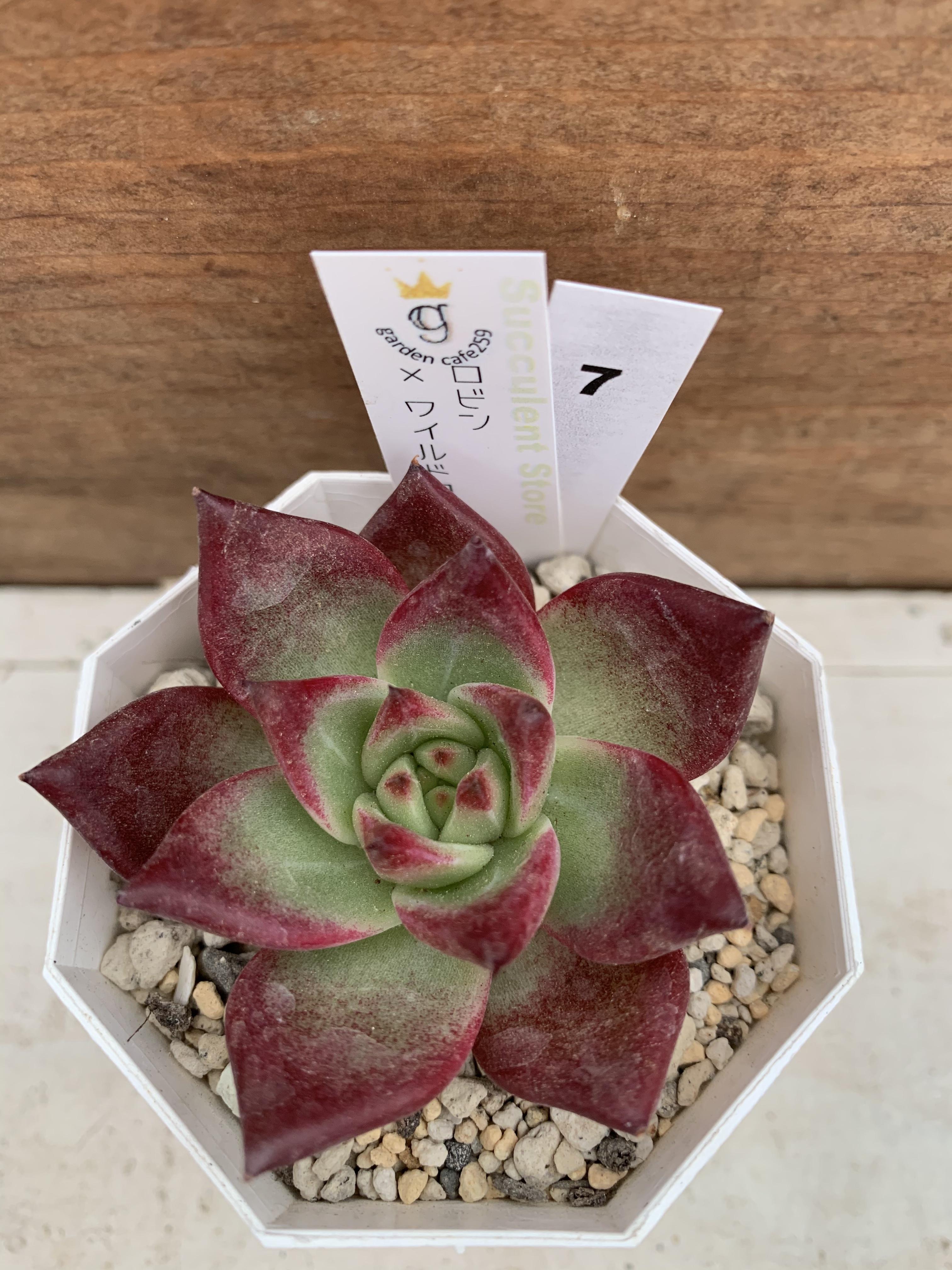 多肉植物 韓国苗 ロビン × ワイルドコロラータ☆No.7