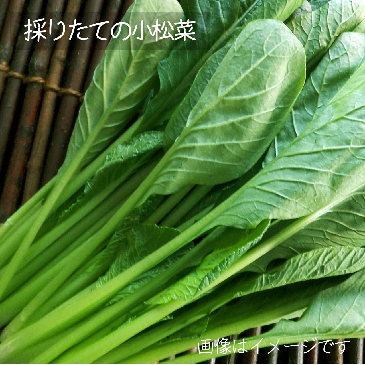 8月の朝採り直売野菜 : 小松菜 約200g 新鮮な夏野菜  8月22日発送予定