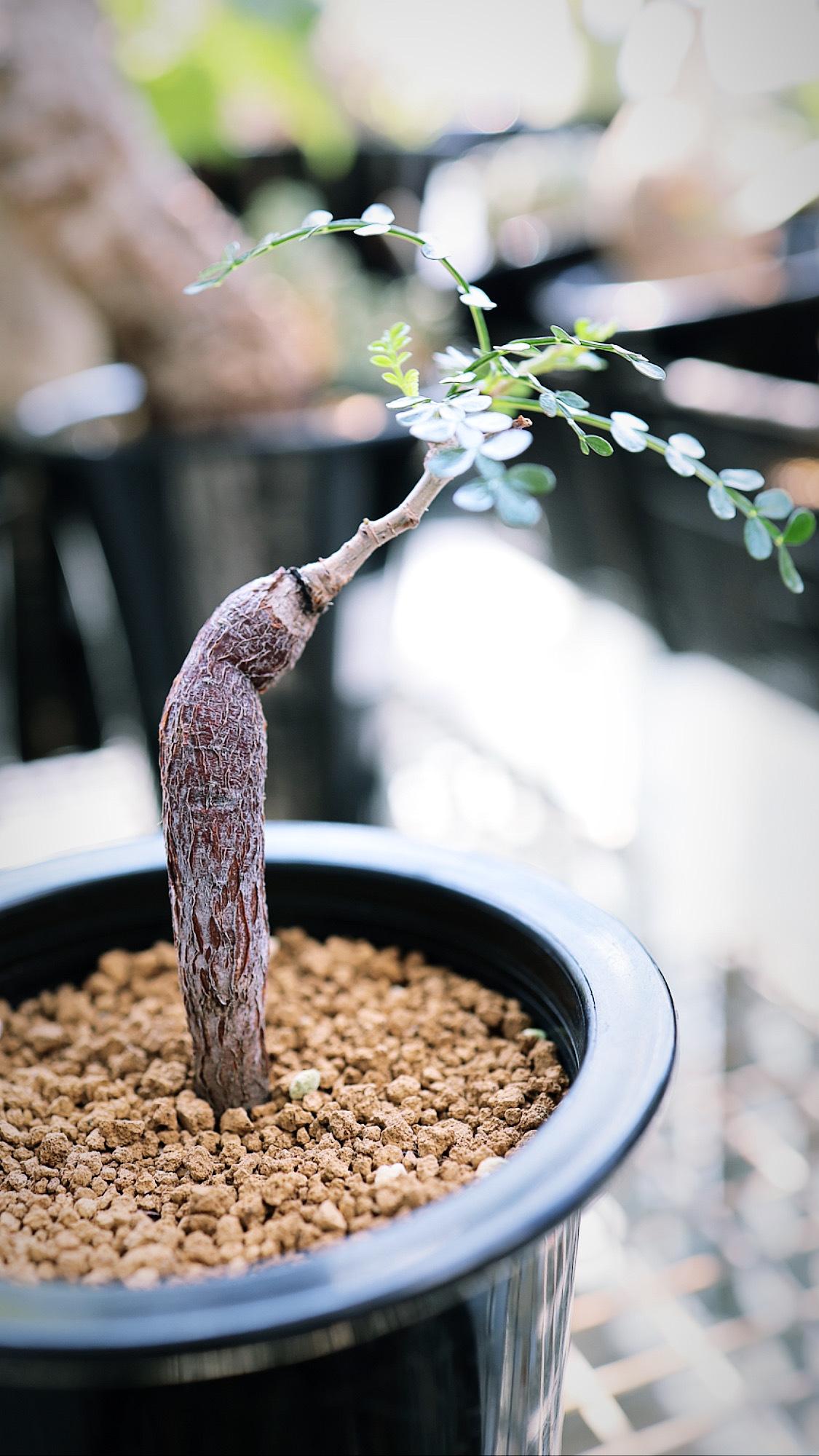 オペルクリカリア・パキプス | Operculicarya pachypus-_003