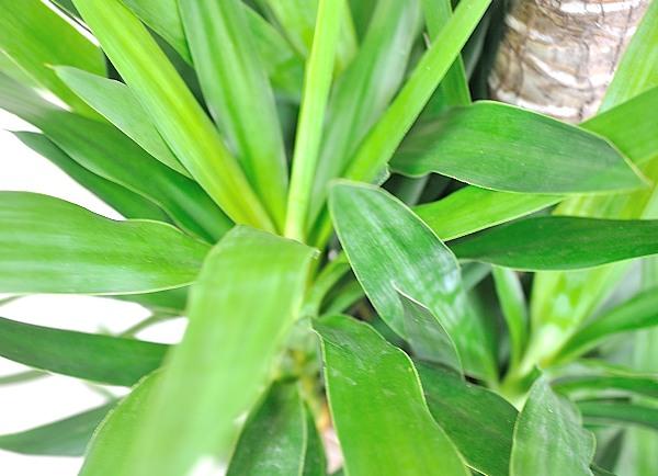 開業祝い観葉植物 ユッカ