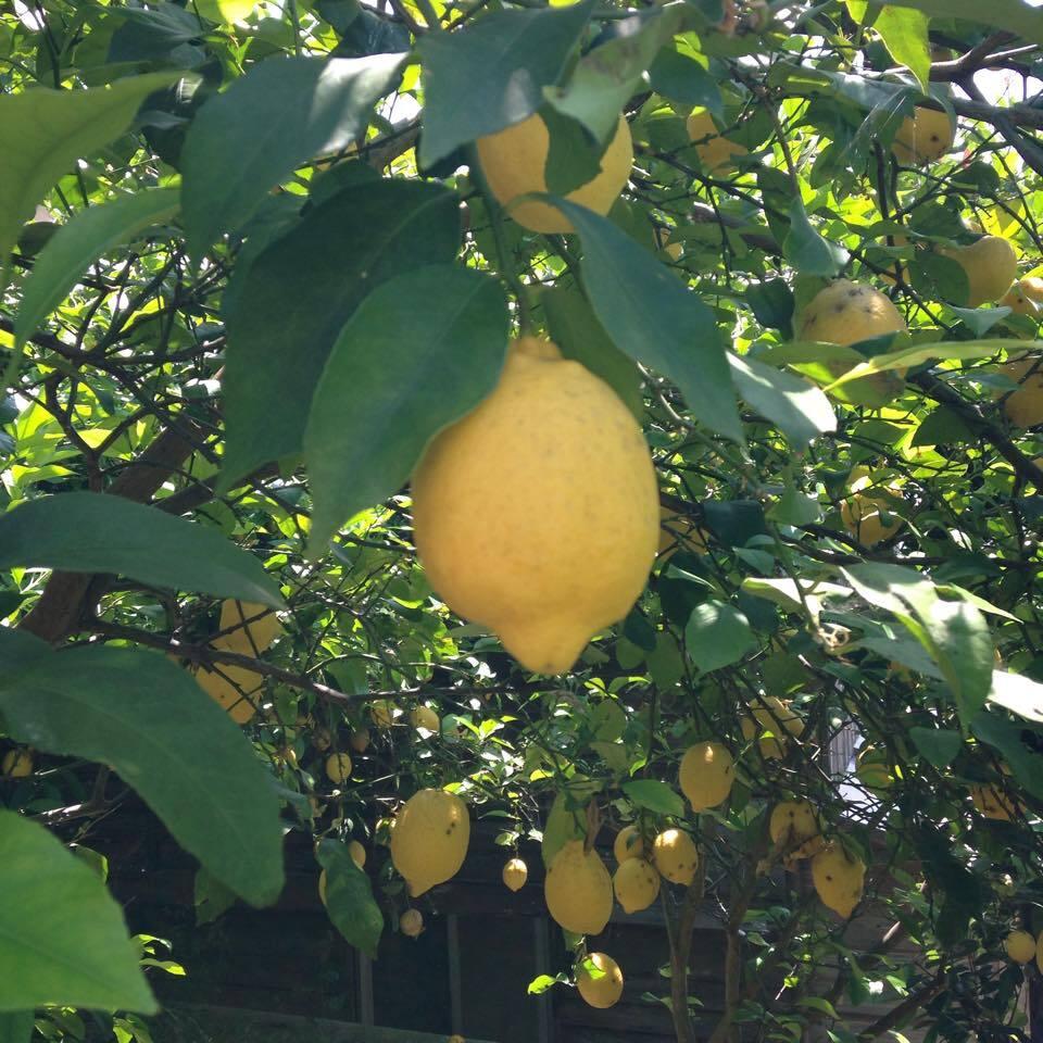 無農薬レモン 4kg