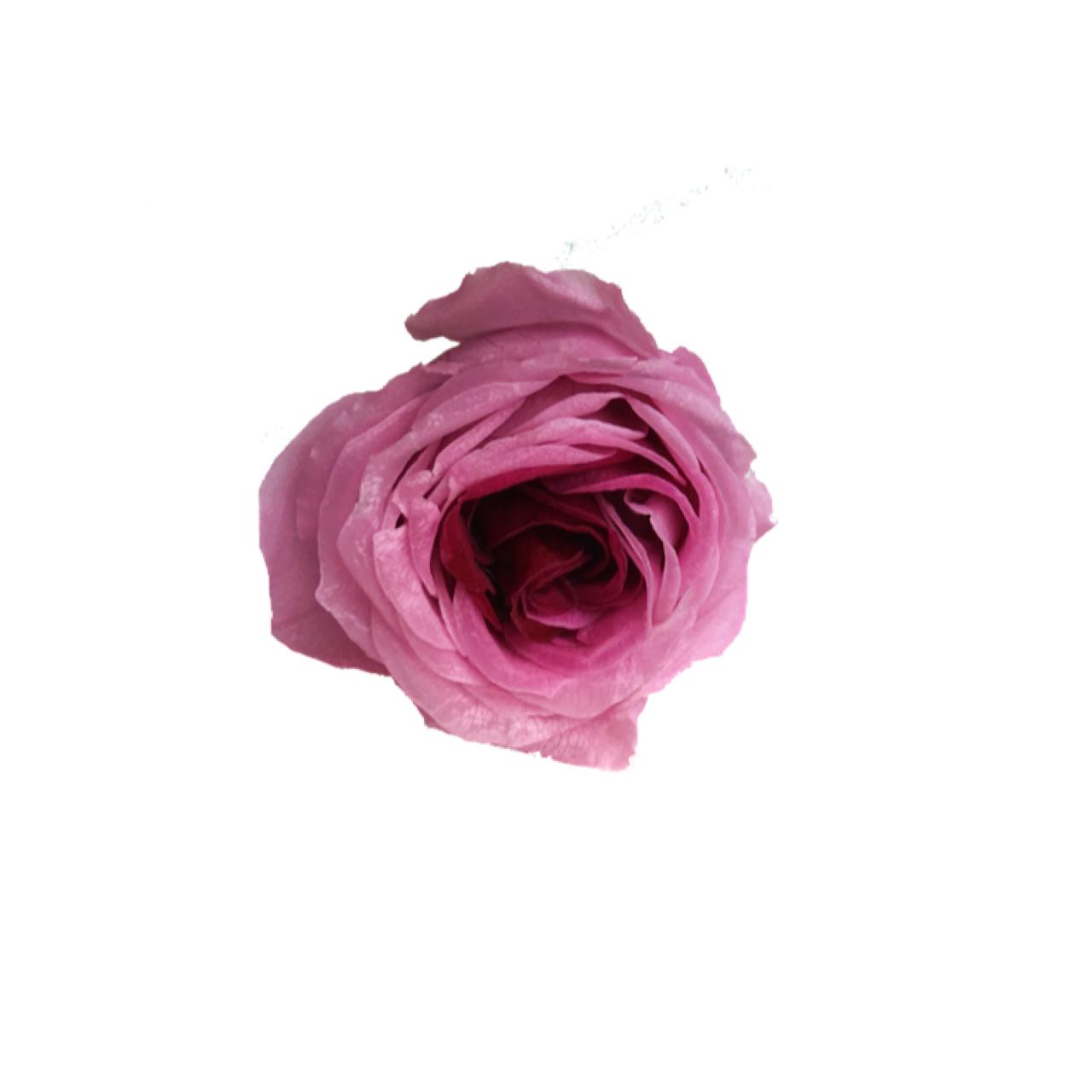 【5%OFF】プリザーブドローズ【1輪販売】   大地農園/ローズまりひめ小 クリスタルルビー/03840-0-141
