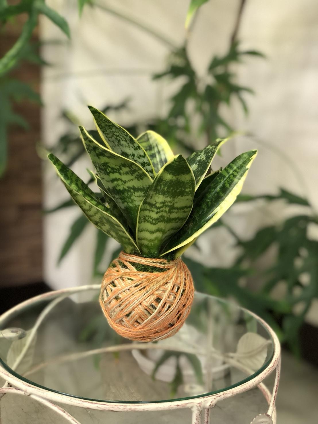 サンセベリア -苔玉 - made by Heartflower