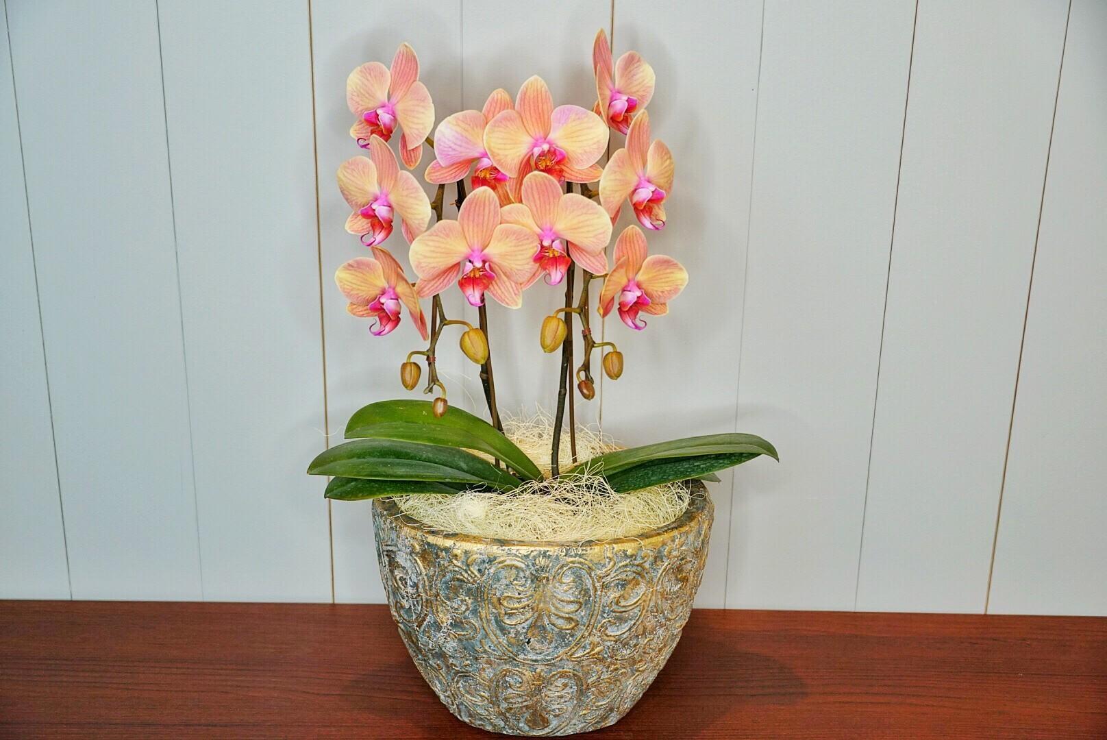 胡蝶蘭 SALMONPINK 陶器