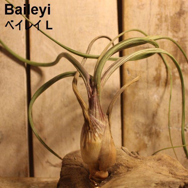 エアプランツ Baileyi L