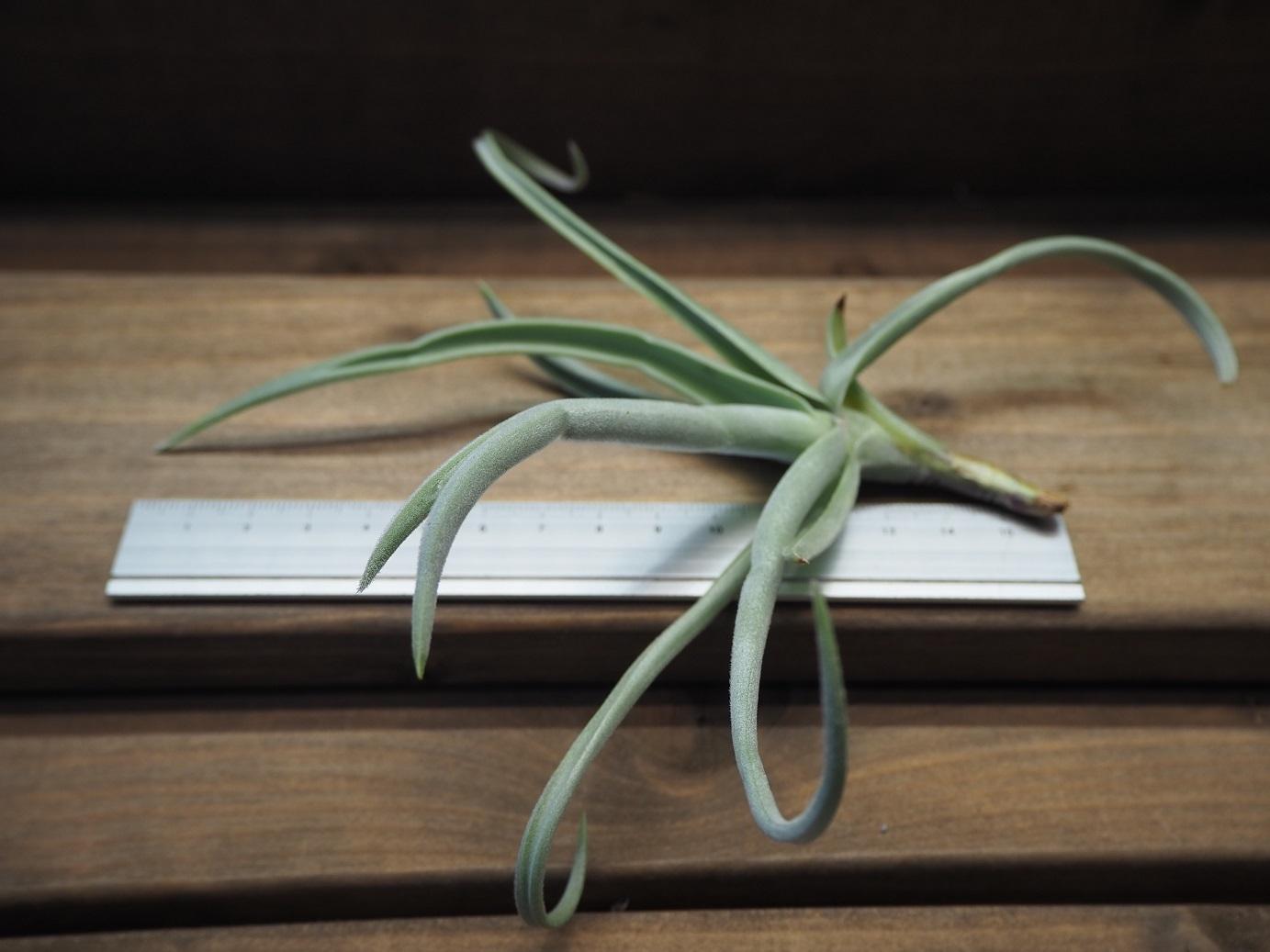 チランジア / デュラティ (T.duratii 'Thick Leaf')