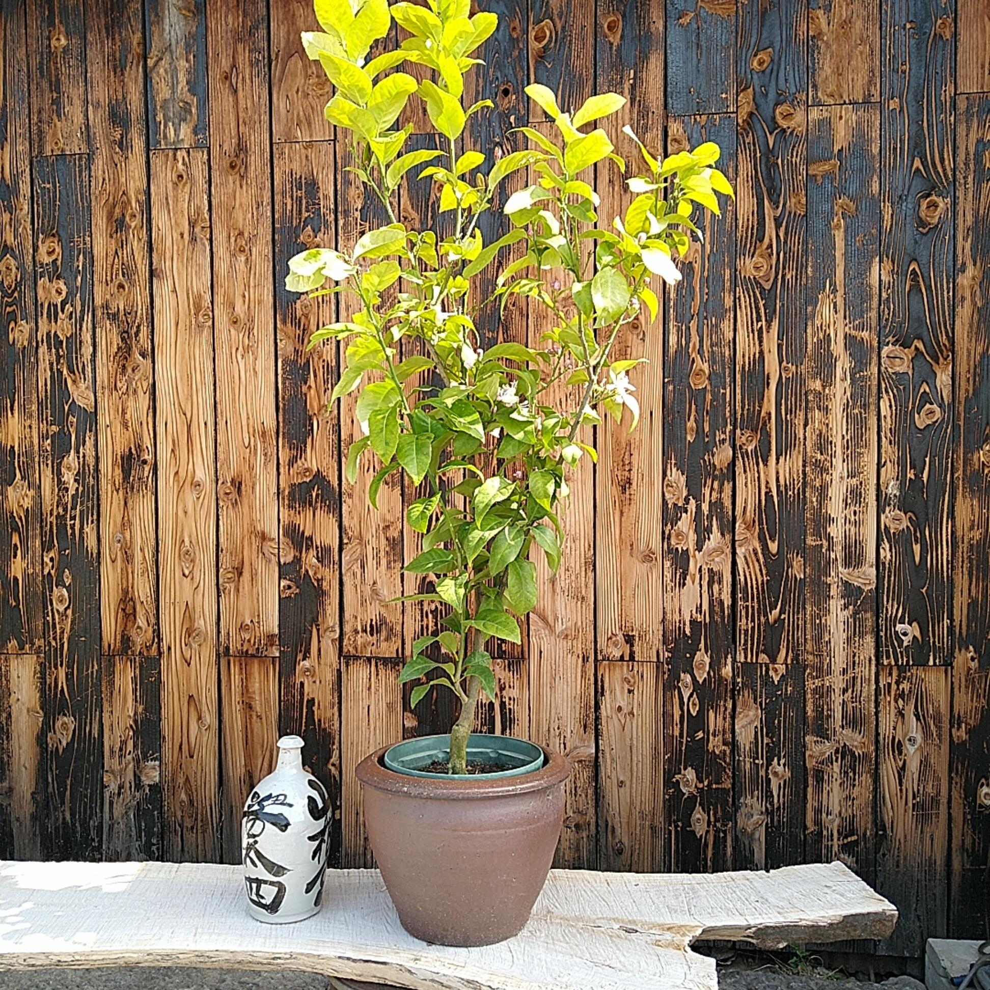 食べられる鉢植え レモン 中苗