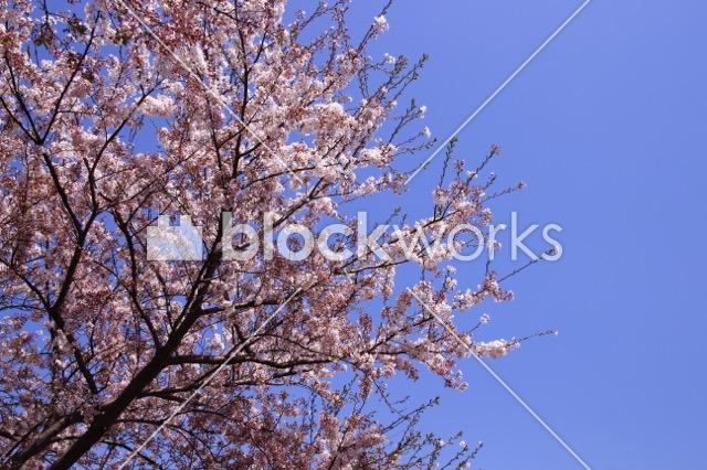 写真素材:春の桜003 - 画像1