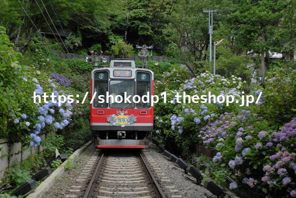 箱根登山鉄道1000形と紫陽花DSC_0094