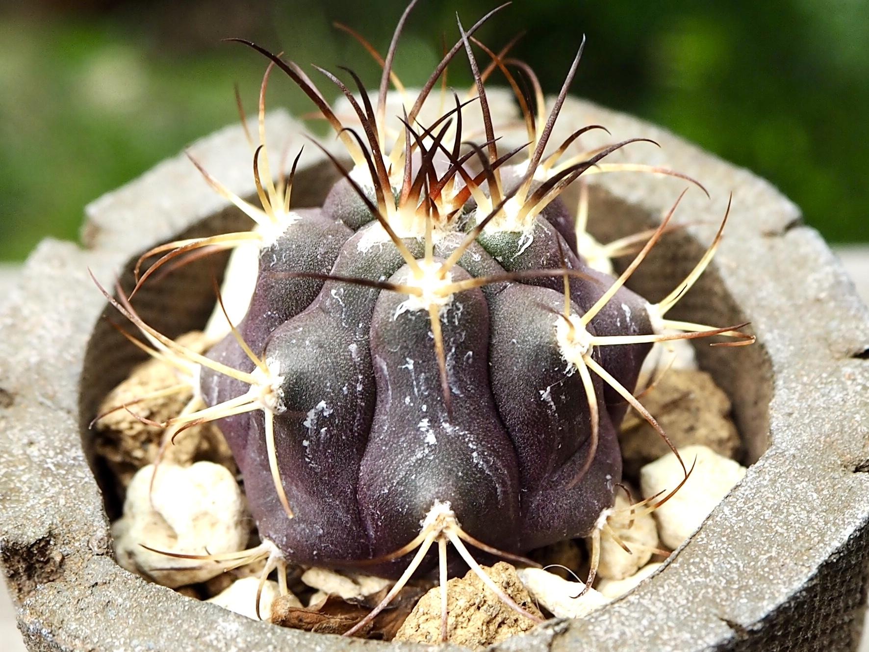 天紫丸×信楽焼鉢