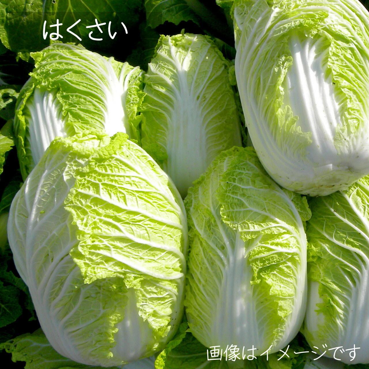 新鮮な秋野菜 : 白菜 1個 11月の朝採り直売野菜 11月7日発送予定
