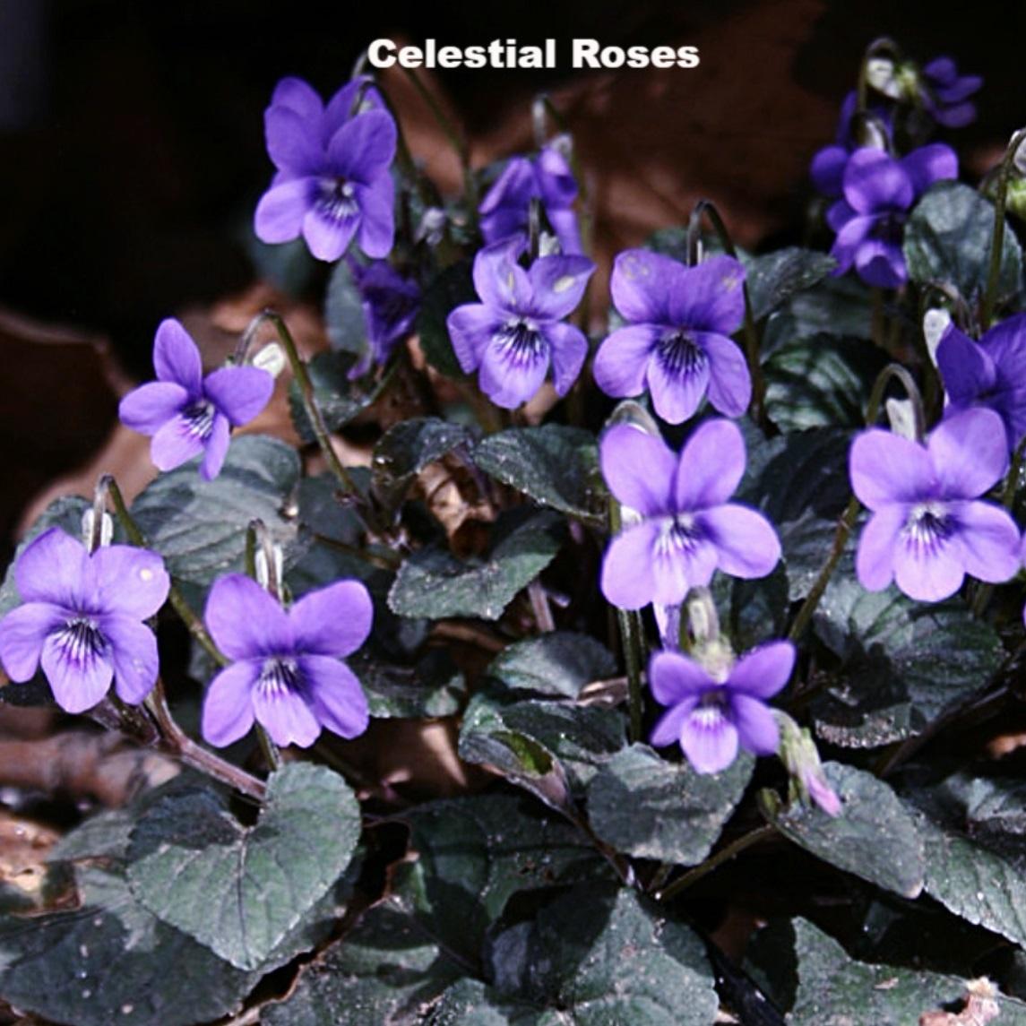紫式部 苗 バラ