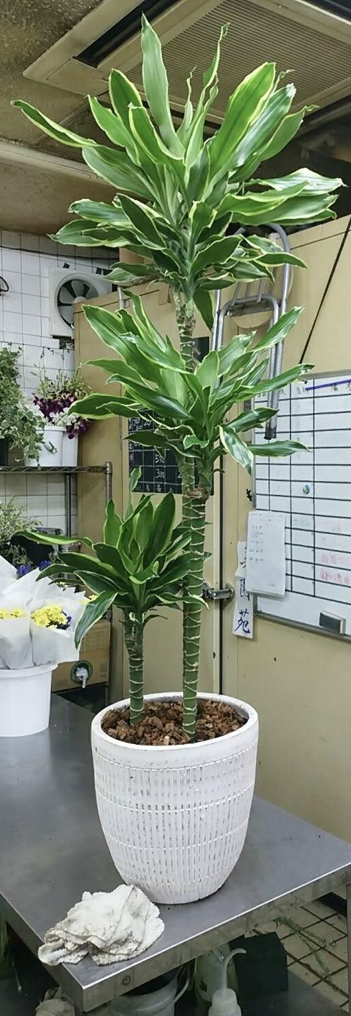 15000円の観葉植物