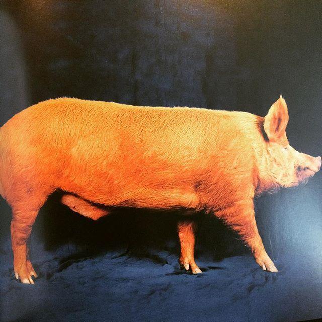 写真集「Beautiful Pigs」 - 画像3