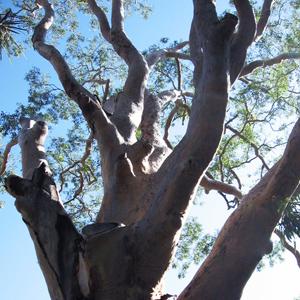 Phytofrance Eucalyptus [ユーカリ] - 画像2
