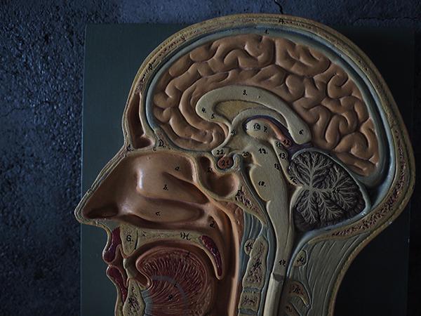 人体頭部模型