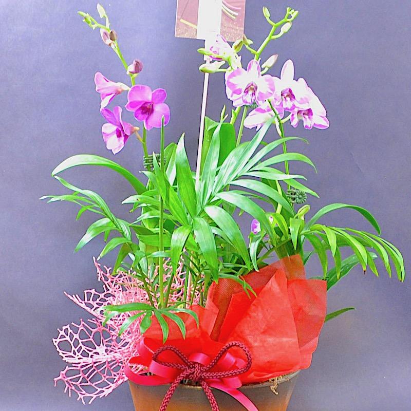 敬老の日 / ミニデンファレ 花鉢ギフト