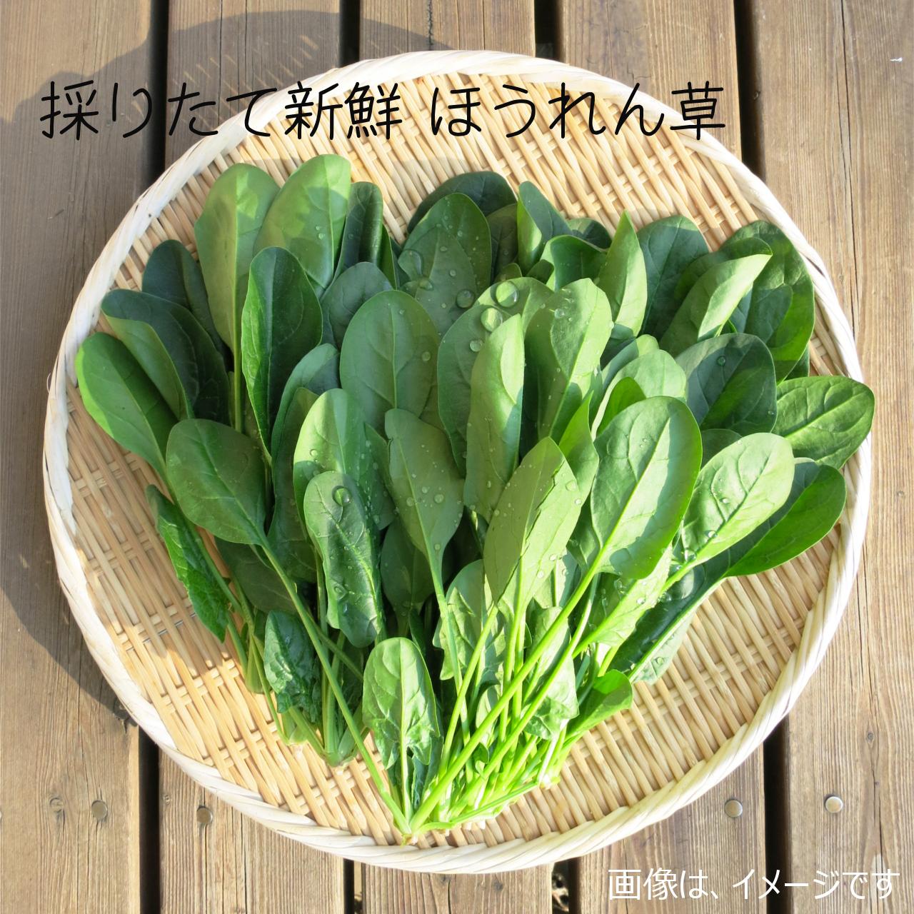 新鮮な秋野菜 : ホウレンソウ 約400g 9月の朝採り直売野菜 9月26日発送予定