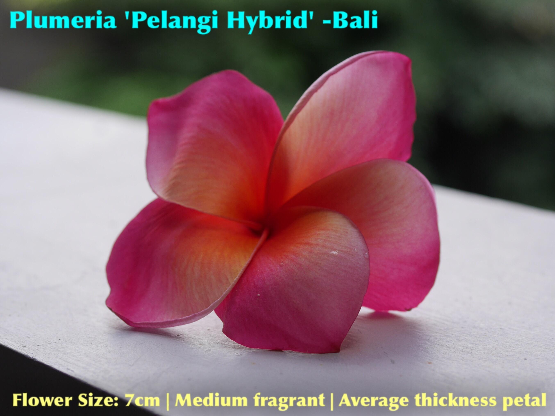 【超レア品種・一点モノ】Plumeria 'Pelangi Hybrid' 苗木(5号スリット鉢)   個体番号③