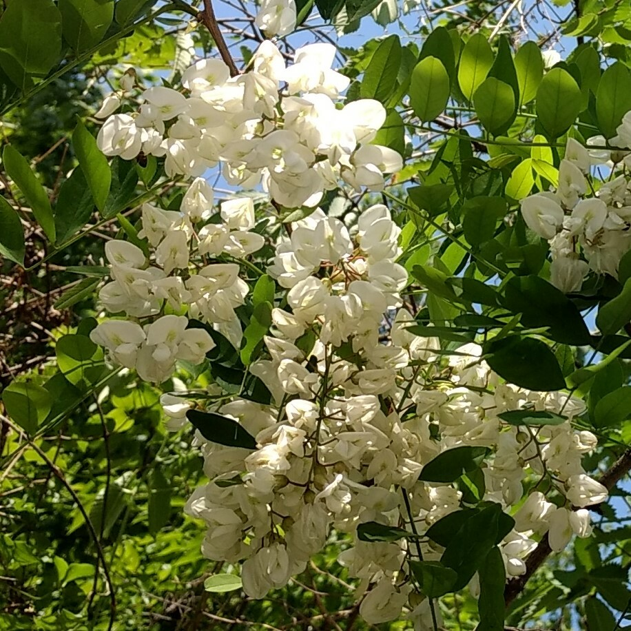 アカシアのハチミツ 470g
