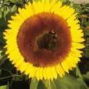 サンフラワー[Sunflower]#16