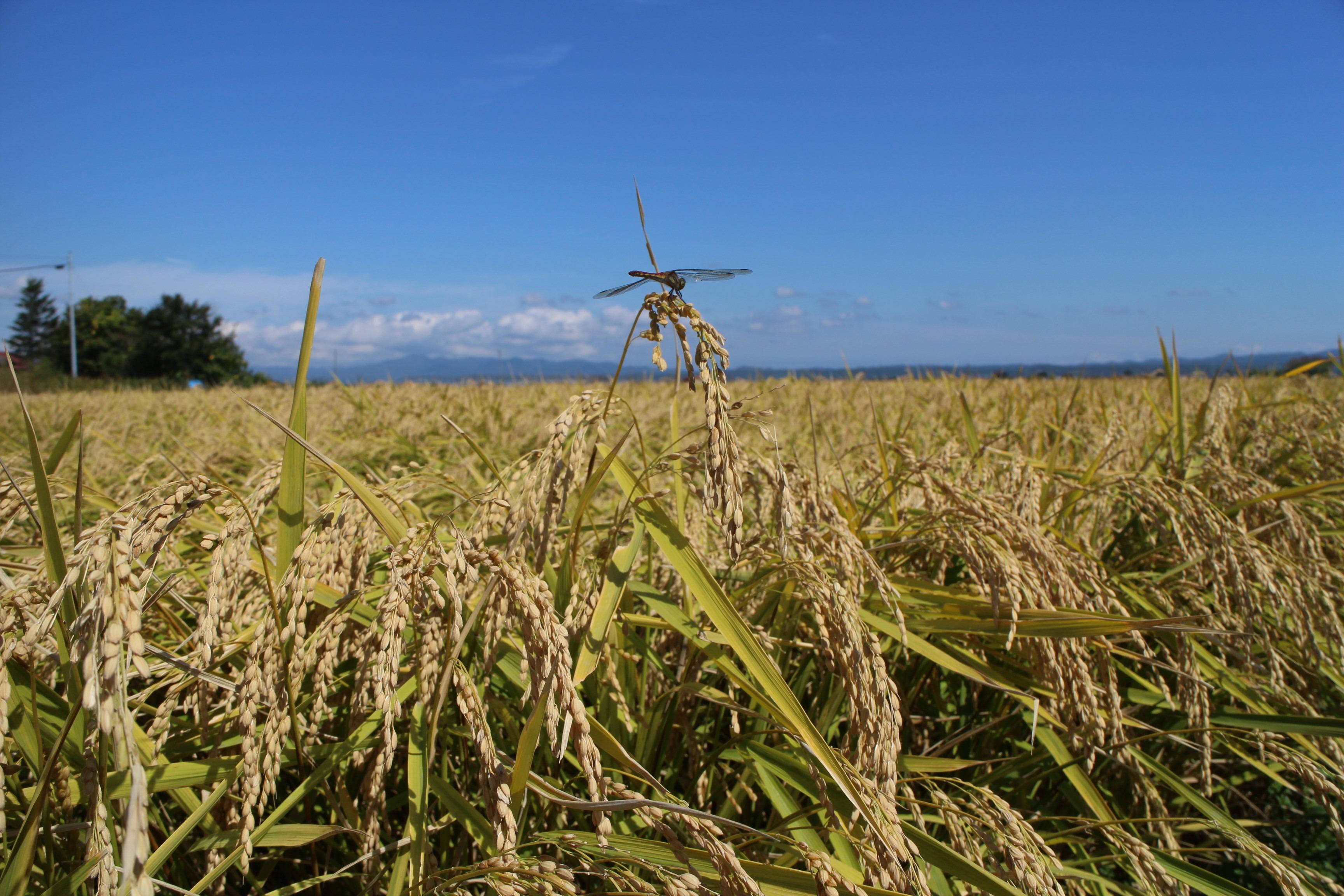 青森県産まっしぐら(農薬8割減、有機肥料5割使用)玄米10キロ