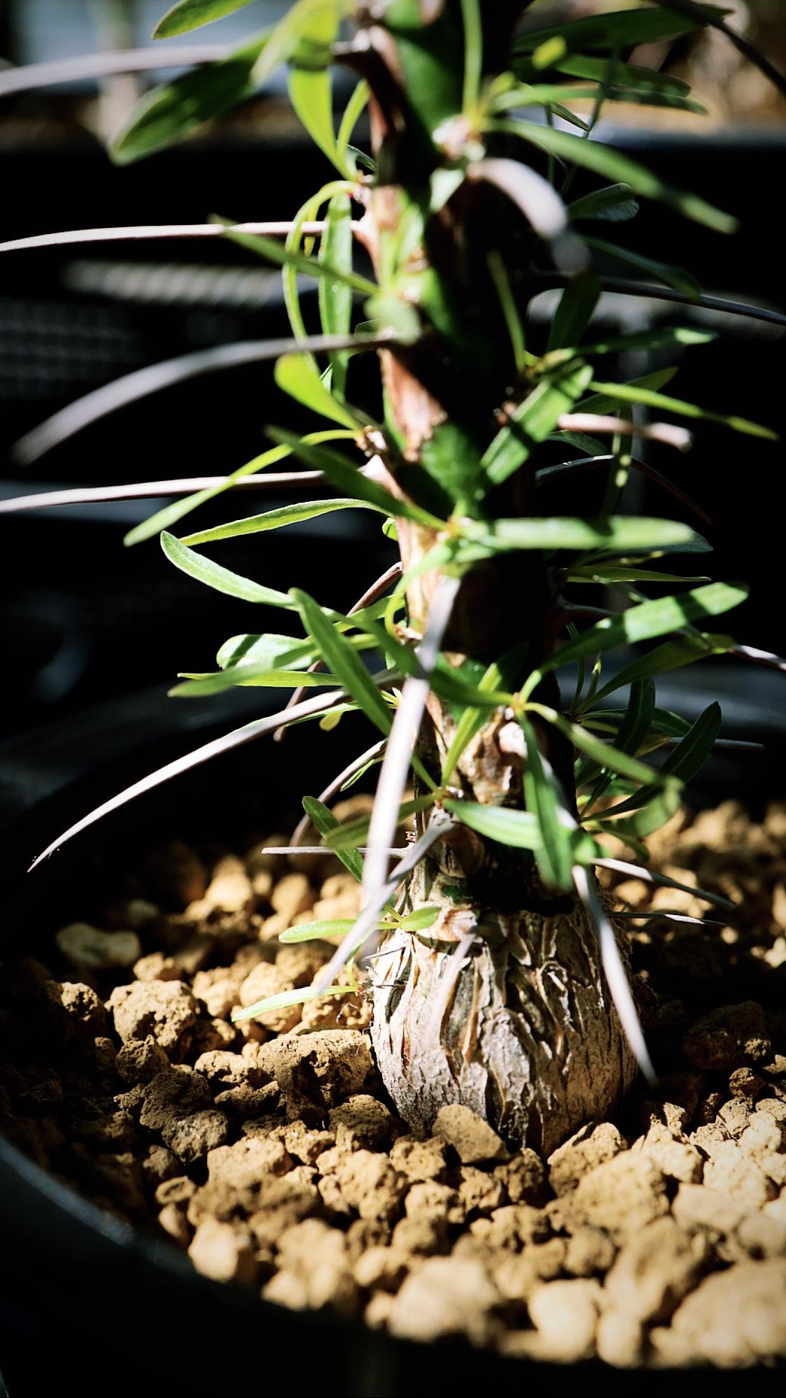 フォークイエリア・プルプシー | Fouquieria purpusii _002