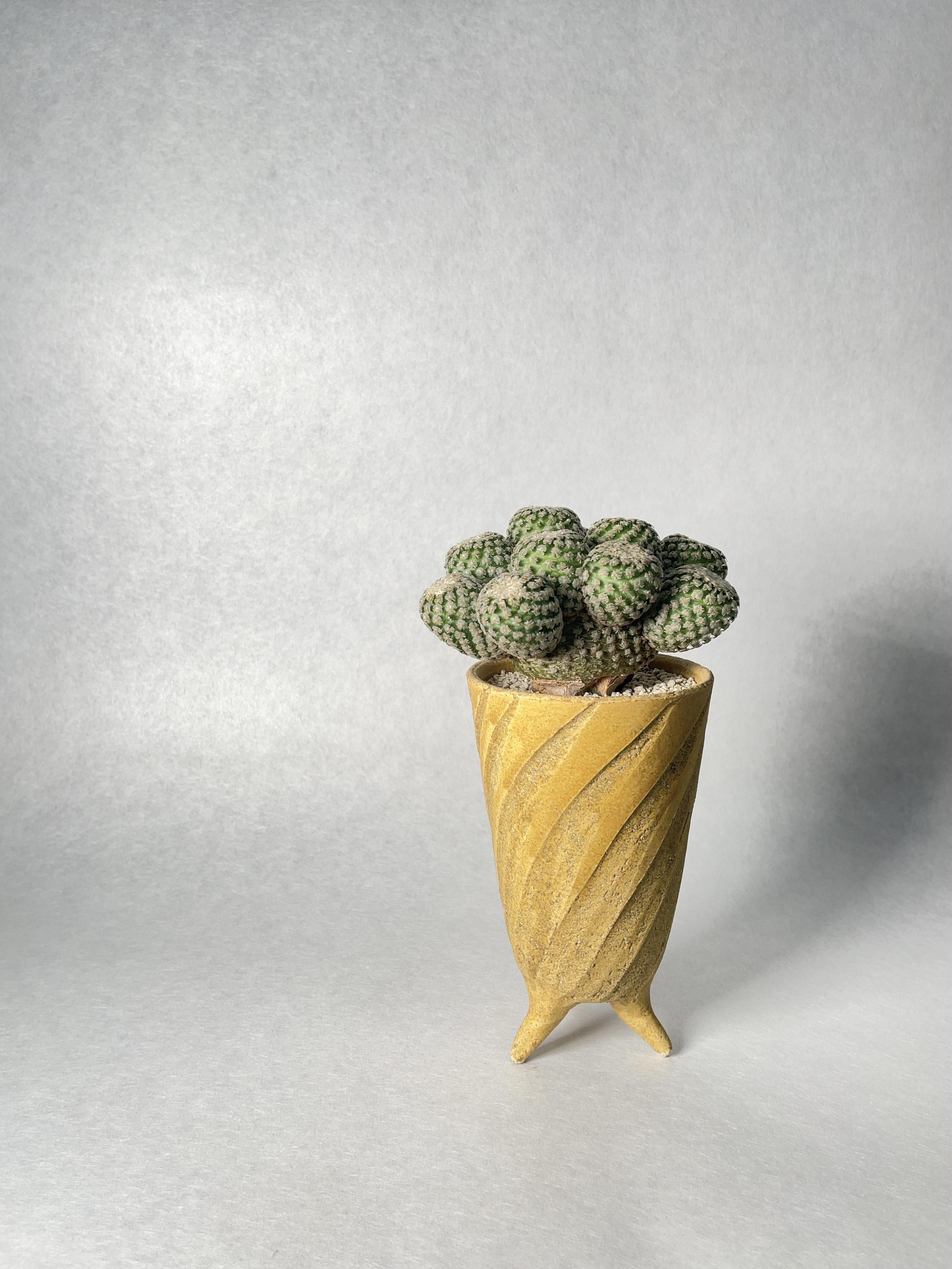 ツルビニカルプス・バラ丸