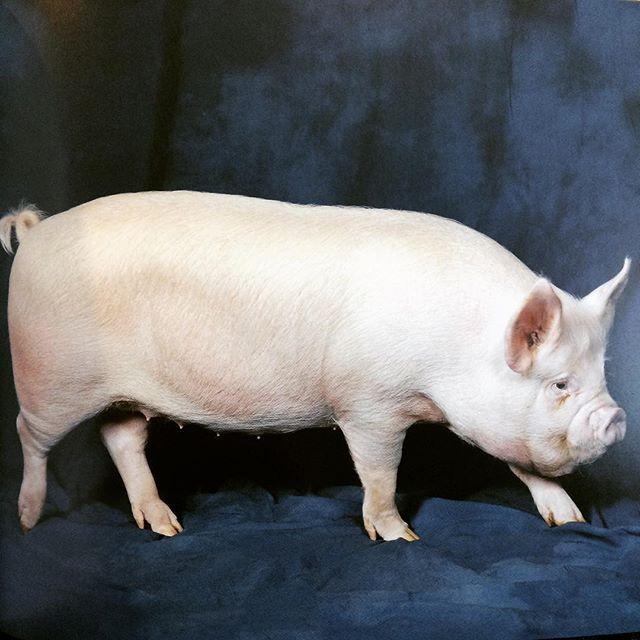 写真集「Beautiful Pigs」 - 画像2