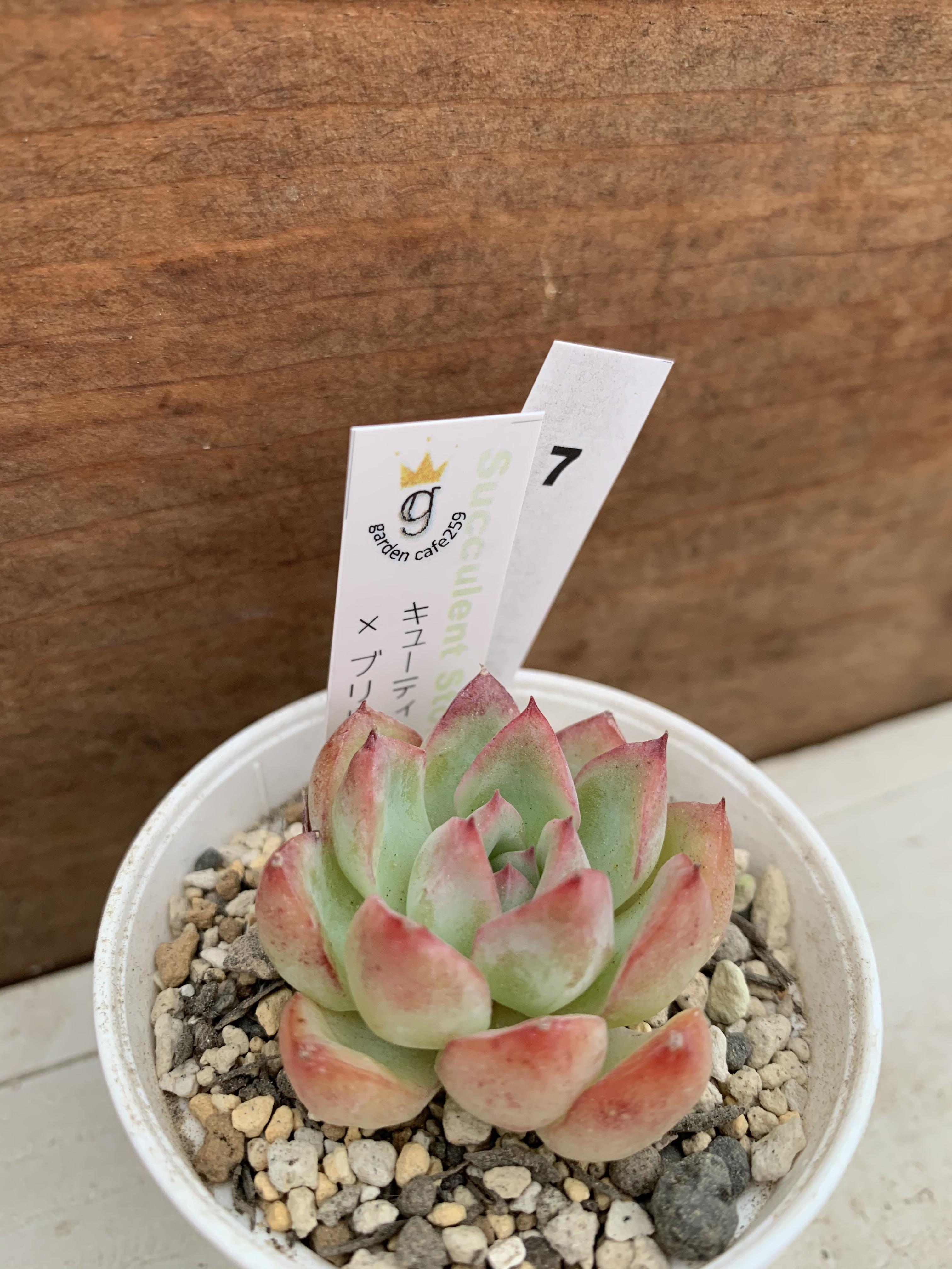 多肉植物 韓国苗 キューティーズ × ブリドニス☆No.7